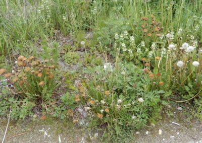 Oranžid võililled veel õitsevad, tavalised on lõpetanud